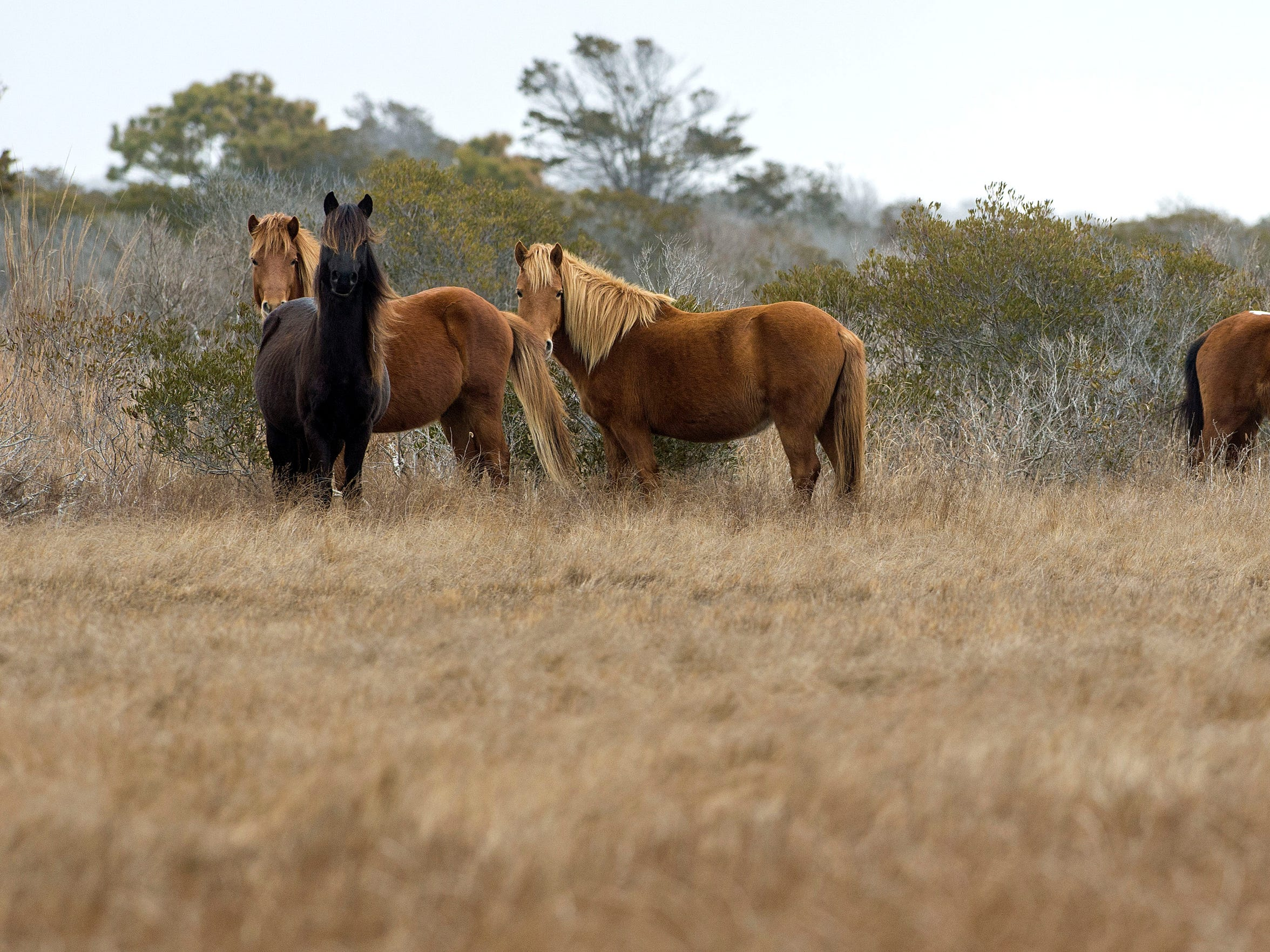 A band of horses on Assateague Island watches curiously