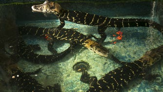 Juvenile black caiman are seen in a pool at the Phoenix Herpetological Society in Scottsdale on Dec. 6, 2016.