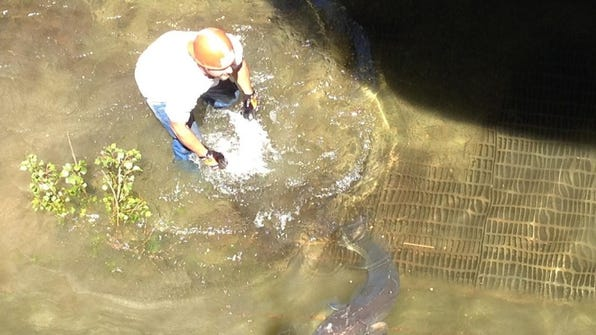 Employees from Bay Shipbuilding Co. in Sturgeon Bay rescued a large, live sturgeon from the graving dock Wednesday. Photo submitted by Tom Carow.