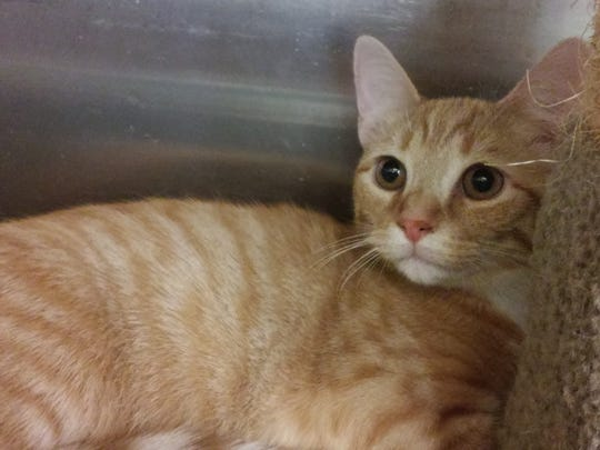 Moonbeam is a beautiful, 5-month-old, neutered-male, domestic short hair kitten. He is fully vetted and litter box trained. Moonbeam is very playful and loves people. He will make a wonderful companion. Find him at Petsmart through Cats Are Us, 931-503-0053, www.facebook.com/catsareustn.