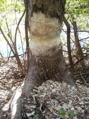 A beaver felled three trees and gnawed at this one
