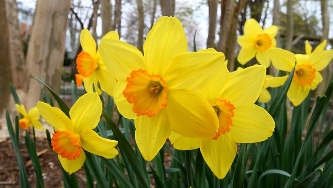 Perennials like these daffodils at the UT Gardens on Neyland will be some of the first affected by the freeze expected Thursday night, March 8, 2018. You can prepare your daffodils to survive a late frost by watering them thoroughly during the day, making the cells inside the plants expand and helping prevent an internal freeze when the temperatures drop.