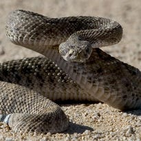 Snake-removal calls up sharply in Scottsdale