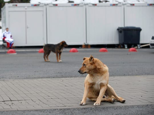 Stray dogs sit outside the Rosa Khutor Extreme Park course, a venue for the snowboarding and freestyle competitions of the 2014 Winter Olympics, in Sochi, Russia, Monday, Feb. 3 2014.  A pest control company which has been killing stray dogs in Sochi for years told The Associated Press on Monday that it has a contract to exterminate more of the animals throughout the Olympics. (AP Photo/Pavel Golovkin)