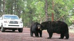 Bearizona: Top things to do at drive-thru wildlife park in Williams