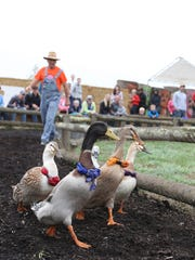 """Ducks guest star in the """"Pig-Tucky Derby"""" races on Sunday, Oct. 11, 2015, at French Prairie Gardens Pumpkin Patch in St. Paul."""