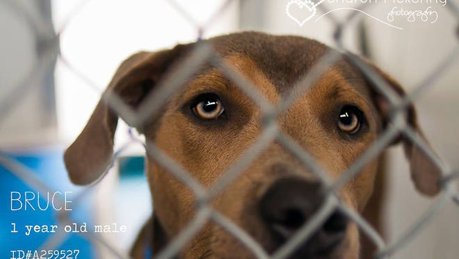 Bruce is about a 1-year-old male brown labrador mixed breed available for adoption at the Escambia County Animal Shelter.