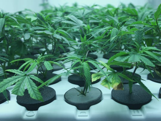 Marijuana clones line a tray at Toucan Farms in the