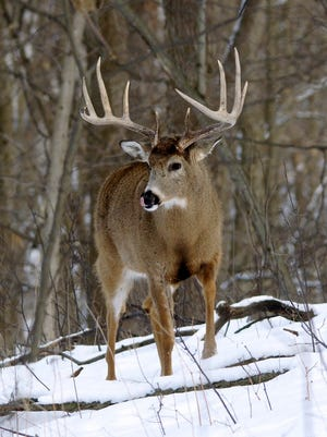 Aided by three consecutive mild winters, the white-tailed deer population has generally increased across Wisconsin. Photo contributed by Randy Crawford.