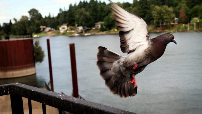 A pigeon flies from a viewing platform in the Willamette River.