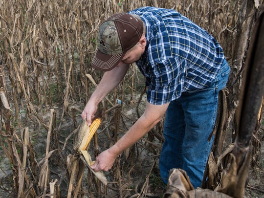 Sam Parker inspects a corn crop that was toppled by heavy winds during last week's storm.
