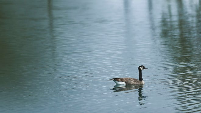 """A lone goose paddles on one of the two man-made ponds near the Clarksville Municipal Government complex Sept. 14. More than 200 geese were trapped and killed earlier in the summer. Town Council president Paul Fetter said """"it was not the result that any of us would have preferred, but it was the only option with our dire population issues."""" The geese were leaving up to 5 tons of waste a month in droppings, creating a nuisance for visitors and employees at the complex as well as at a nearby retirement community, officials say."""