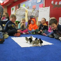 Baby chickens hatch in 4-year-old kindergarten classroom with Ag in the Classroom grant