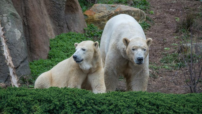 The North Carolina Zoo welcomes Payton as the newest member of the polar bear family.