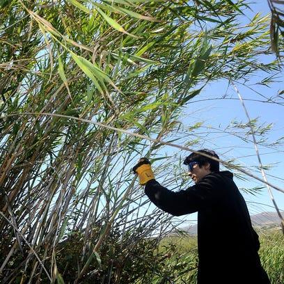 Robert Warren of Carpinteria cuts strands of arundo