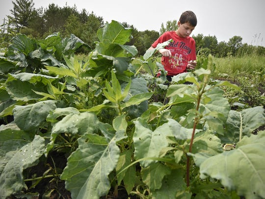 Austin Maile pulls weeds July 1 in his garden south of Avon. Maile, who is 13 years old, operates Austin's Acres, a farmers market stand that offers vegetables, jellies, soups and sauces.