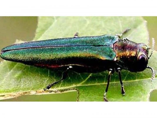 636680258480219070-Beetle.jpg
