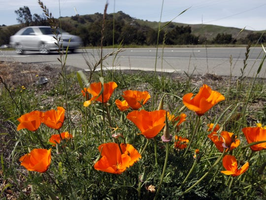 Wildflowers sprouting up along Highway 68 near River Road as cars speed by.