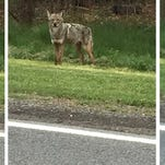 New York coyote population estimated at 38,000