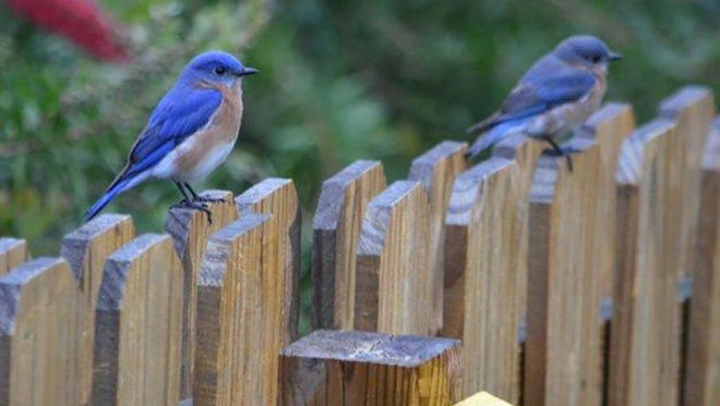 Bluebirds prefer to nest in open areas, fence rows and along the edges woodlots.