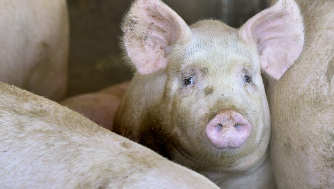 Officials say Mason City is on its way to getting a hog-processing operation that's expected to employ up to 2,000 workers in its first two years.