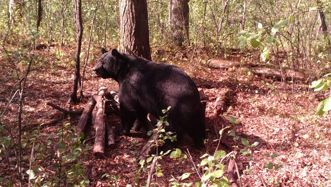 This trail cam photo shows a black bear at a bait site near Hudson.
