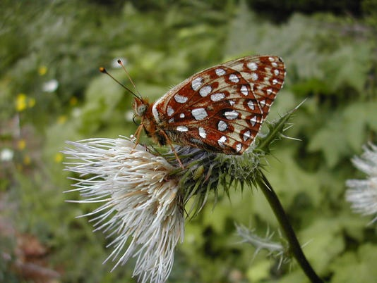 636346900093115778-Oregon-silverspot-butterfly.jpg