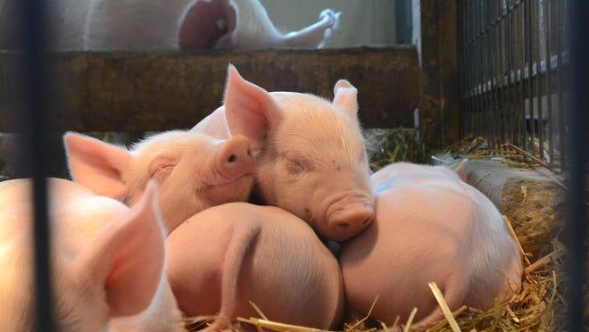 A litter of pigs recently born at Kensington Metropark's Farm Center.