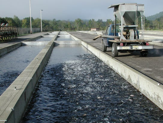 Juvenile trout are raised in the raceways at the Pequest