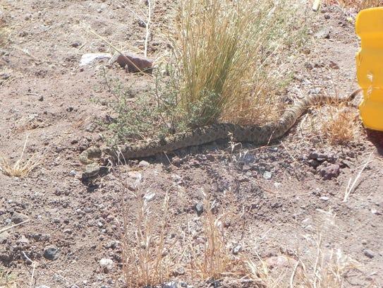 A Great Basin rattlesnake is seen near Reno.