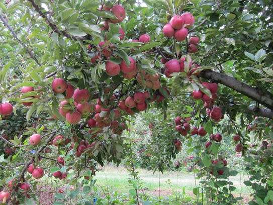 Giamarese Farm offers apple picking each fall.