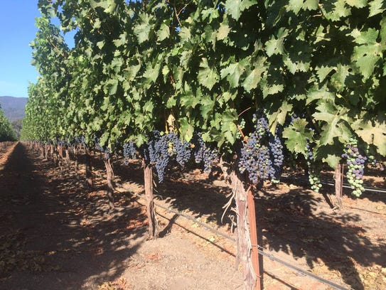 Vines at V. Sattui Winery, which is open for business
