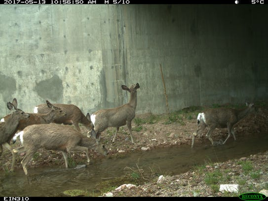 Mule deer move through an underpass in Lincoln. Riparian