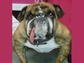 Zsa-Zsa is a 7-year-old English bulldog and was rescued from a puppy mill in Missouri.