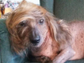 Himisaboo, a 9-year-old dachshund and Chinese crested mix, was already featured on national television for having 'Donald Trump's hair.'
