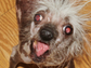 Rascal Deux's father, Rascal, won the 2002 World's Ugliest Dog competition. Rascal Deux is 4 years old, naturally hairless and born without many teeth.