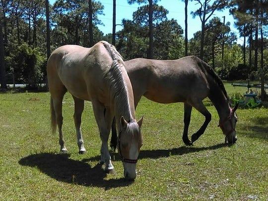 Dolly, a Florida cracker horse, and Blaze, an American