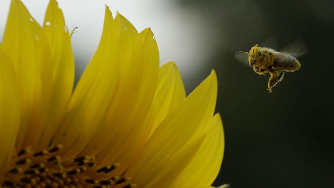A bee collects pollen in a sunflower field near Lawrence, Kansas.