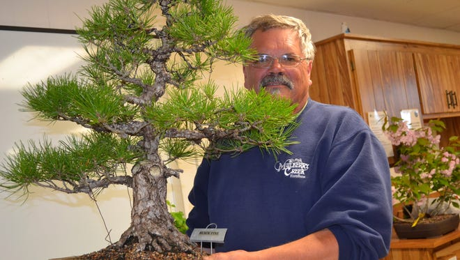 Steve Tusen, who is the bonsai expert at Mulberry Creek Herb Farm, holds a Black Pine bonsai tree during a meeting of the Sandusky Bonsai Club last month.