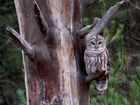 Barred Owl. Photo by John Hayes