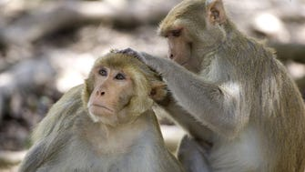 Rhesus macaques are the type of monkey that was exposed to the bacteria.