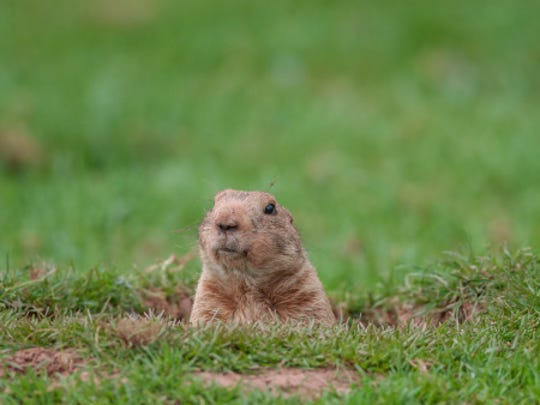 Young groundhogs are setting up households this time of year -- maybe in your yard.