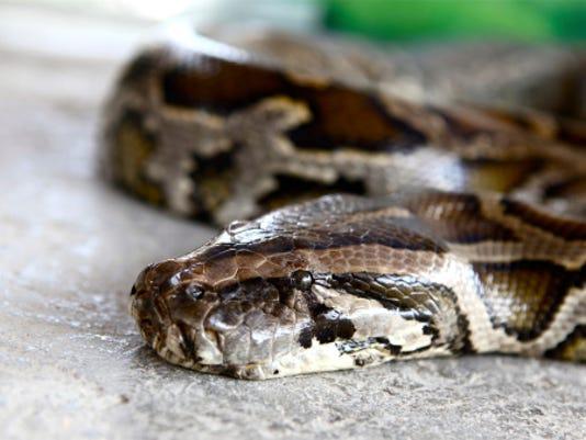 #stockphoto Burmese python