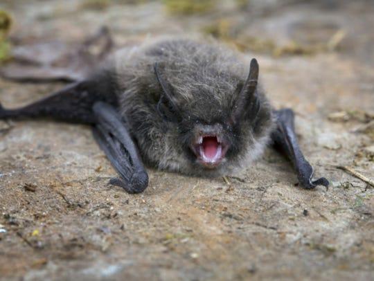 Little Brown Bat (Pipistrellus pipistrellus)