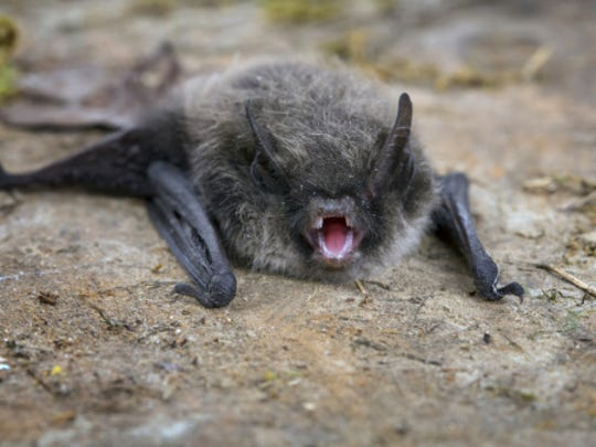 Little Brown Bat (Pipistrellus pipistrellus)