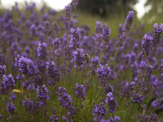 Lavender Lake Farms in Independence, Sundance Lavender Farm in West Salem and Hope Haven Family Farm in Aumsville offer opportunities for people to cut their own lavender.