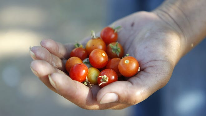 Stephanie Hunter grows cherry tomatoes on land she leases from the Tiger Mountain Foundation. Produce grown on the leased land is sold at farmers markets using a name-your-price model to make healthy food more affordable.