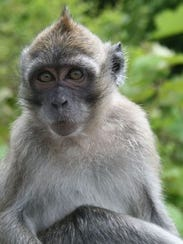 This long-tailed macaque is one of the species housed