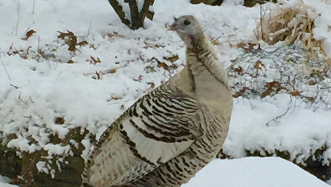This smoke-phased wild turkey was hanging out at an Allendale feeder last week.