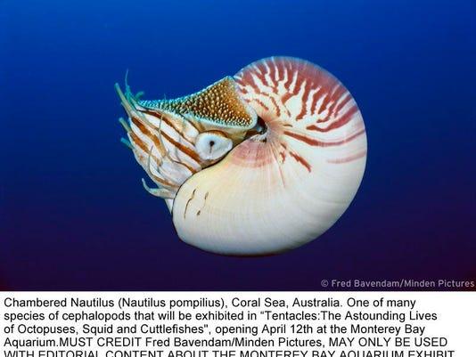 Chambered nautilus_MindenPicturesPrint.jpg